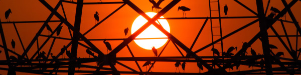 Asian openbill bird nest on high voltage post at sunset